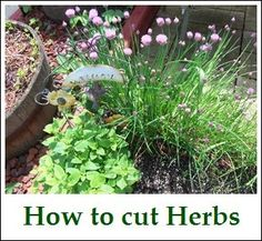 Cutting your Herbs~Tutorial:  How to cut herbs - for basil don't pluck leaves off, instead trim stem. Leave two sets of leaves on stem (leaves grow in pairs across from each other). Cut immediately above the second set of leaves from the ground. Plant will then grow new branches from this cut.