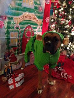 Is it Christmas yet? #Boxer How long do I have to dress up as an elf?  Is it Halloween again. No, now it's Christmas. What I gonna wear for New Year's, my birthday suit?!?