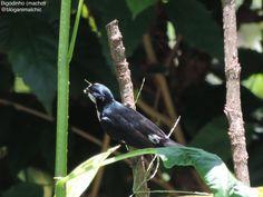 Bigodinho macho (Sporophila lineola) fotografado em São José do Rio Pardo, SP, em Dezembro/14. #Bigodinho #Sporophilalineola #LinedSeedeater
