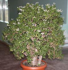 Geldbaum (Crassula ovata) - Botanischer Garten - Universität Rostock