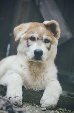 Northern Inuit Puppy 2 by Neo Ink Design on Creative Market...pretty puppy******