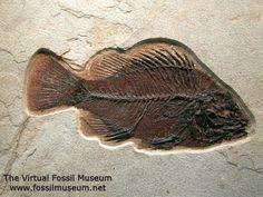Priscacara serrata, Eocene, Lenght: 195 mm, Green River Formation, Fossil Lake, Kemmerer, Wyoming, USA