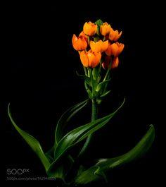 orange sun star  by pinarelloherbert #nature #photooftheday #amazing #picoftheday