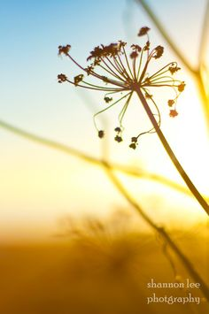 Fine art photography nature sunset flower by shannonleephoto, $30.00