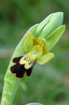 Ophrys lojaconoi - Flickr - Photo Sharing!