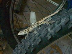 Our lizard is starting to consider bicycling for transportation. We need to help him with this.