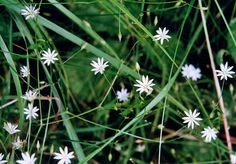Lesser stitchwort (Stellaria graminea), Grassy - Airy, loose stems, green sepals visible between divided petals Nature Reserve, Walking In Nature, Stems, Alps, Perennials, Wild Flowers, Mandala, Herbs, Green