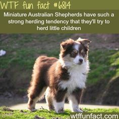 Facts about your Australian Shepherd. Merle Australian Shepherd, Mini Australian Shepherds, Wow Facts, Weird Facts, Awesome Facts, Dog Facts Interesting, Crazy Facts, Funny Facts, Random Facts