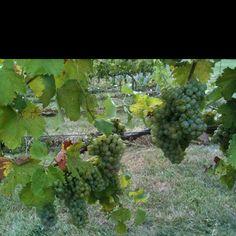 Corcoran Vineyards, Waterford, VA