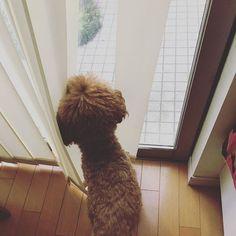 アンディ…さんぽいこ。ちら。 * カーテン開けてくれるのかな…さんぽ行くよ。 * #トイプードル #トイプー #といぷ #わんこ #愛犬 #相棒 #ふわもこ #ふわもこ部#暮らし #犬のいる暮らし #犬との暮らし #さんぽ #さんぽ部 #散歩#おはよう#カーテン#curtain  #カーテン開けて#toypoodlelove #life  #toypoodlegram #dogstagram #cute  #goodmorning #gomyway #akita