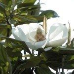 Magnolias may be deciduous or evergreen. The evergreen magnolias provide cheery greenery and are valued for their leathery foliage. There are several magnolia evergreen varieties from which to choose. This article will help. Magnolia Tree Types, Evergreen Magnolia, Magnolia Trees, Magnolia Flower, Types Of Evergreen Trees, Evergreen Flowers, Indoor Flowering Plants, Flowering Trees, Gardens