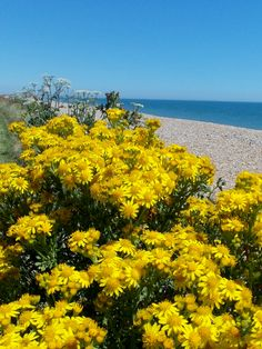 Daises on Winchelsea beach, East Sussex, England. By B Lowe