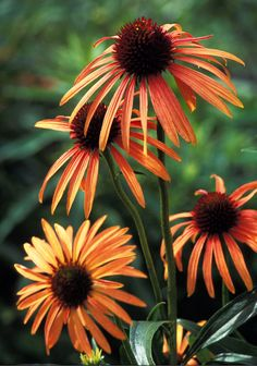 Orange Meadowbrite Coneflower Echinacea 'Art's Pride' P.P.A.F, P.B.R.A.F This perennial is the first orange coneflower ever in cultivation. It features brightly colored, deep orange ray florets, a dark maroon cone, and an intensely sweet fragrance. This selection starts blooming in northern Illinois in mid-June with a heavy flush in early to mid-July, then a continuation of at least a few flower heads well into September. This cultivar is very drought tolerant. We suggest planting it in…