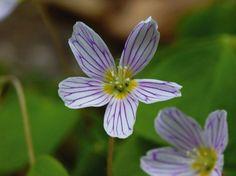 Heinrich Wilhelm: Die hübsche Blüte des Waldsauerklees - Leinwandbild auf Keilrahmen
