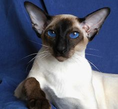 ❤ =^..^= ❤ ::::: Blue-Gem Siamese Show Cats :::::