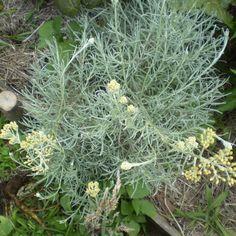 Curry plant. Erva-caril ou perpétuas-das-areias. Helichrysum italicum