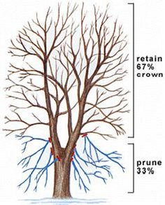 Pruning a tree will produce strong, healthy, attractive plants. Here is a tutorial and illustrated guide on how, why and when to prune a tree - plus a few simple pruning tips.: Important Tree Pruning Method - Crown Raising Pruning Fruit Trees, Tree Pruning, Trees To Plant, How To Prune Trees, Garden Trees, Lawn And Garden, Garden Plants, Fruit Garden, House Plants