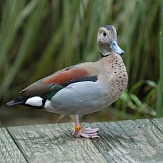 Ringed Teal Duck at Happy Hollow Park & Zoo San Jose, CA #Kids #Events