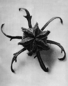 Karl Blossfeldt Photogravures, Cajophora lateritia (Loasaceae), Chile nettle, flower bud The geometry in compositions was a source of inspiration in my art Karl Blossfeldt, Seed Pods, Patterns In Nature, Natural Forms, Botany, Trees To Plant, Art Forms, Illustration, Photos