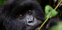 http://www.primeugandasafaris.com/gorilla-safaris/8-days-rwanda-uganda-gorilla-safari.html#rwanda