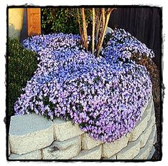 Looks like creeping phlox, but apparently is Trailing Rosemary? One pinner said: Trailing Rosemary produces beautiful blue foliage. It requires little water, and has a moderate growth rate. It has no allergens, but yet is very fragrant. Diy Garden, Dream Garden, Lawn And Garden, Garden Plants, Home And Garden, Shade Garden, Mailbox Garden, Air Plants, Creeping Phlox