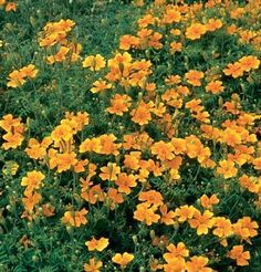 Marigold, recommended by Mother Earth News as one of the top ten flowers to pair with your vegetable garden. This is Tagetes tenuifolia, a small, marigold that can be used in salads. Edible Flowers, All Flowers, Edible Plants, Garden Pests, Garden Tools, Fruit Bearing Trees, Vegetable Garden Tips, Types Of Plants, Marigold
