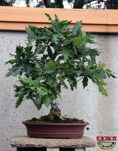 English Oak - Quercus robur Fagaceae - 45 yrs old