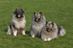 Keeshonds on grass – The Keeshond is very affectionate and a devoted people-dog who also is one of the few breeds who has never been bred to hunt or attack,  but have been bred for centuries solely for companionship.