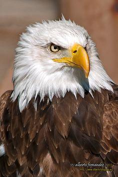 Bald Eagle by Luis Alberto Fernández Arnanz on Amazing Animal Pictures, Eagle Pictures, Birds Of Prey, Bald Headed Eagle, Where Eagles Dare, Spiritual Animal, Eagle Bird, Tier Fotos, Belleza Natural