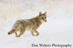 Winter Coyote. Colorado.