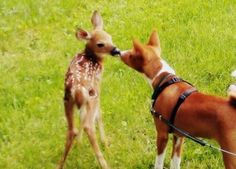 Oh my goodness!!! This is my favorite pin so far.  Basenji meeting a fawn!!!
