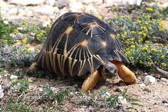Radiated Tortoise (Astrochelys radiata) of Madagascar