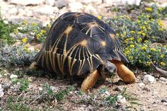 Radiated Tortoise (Astrochelys radiata) of Madagascar