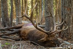 Large archery bull elk on the ground in thick timber Arizona Elk Hunting, Elk Hunting Tips, Moose Hunting, Big Game Hunting, Hunting Girls, Deer Hunting, Alaska Hunting, Hunting Stuff, Elk Pictures