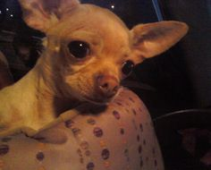 This is little angel Honey. I give her lots of love and smooches every time I send love and healing to Rosie. When I look at Honey, I see a little being so much like Rosie. Honey was bred once (all 5 lbs of her) with a boston terrier. the resulting pregnancy broke her rib cage (which sticks out funny) and nearly killed her. The picture is of the night I picked her up from the woman who was selling her after deciding she wasn't useful to them.