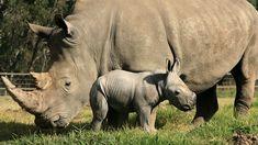 rinocerontes bebes - Buscar con Google