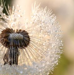 Sparkled Dandelion by Marinus Keyzer de, via 500px