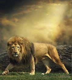 funnywildlife:  The King Lion Animal Photography Wildlife Big Cat