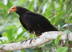 Lesser Yellow-headed Vulture Cathartes burrovianus - Google Search