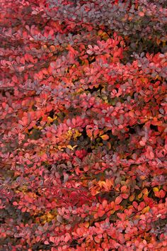 Monrovia's Royal Burgundy® Barberry details and information. Learn more about Monrovia plants and best practices for best possible plant performance. Orange Rocket Barberry, Shrubs For Borders, Types Of Mulch, Monrovia Plants, Foundation Planting, Plant Catalogs, Garden Shrubs