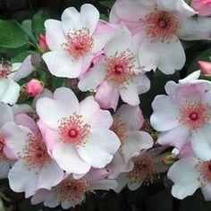 'Astronomia' * - syn. 'Pink Sakurina', 'The Charlatan', 'Sweet Pretty' - Meilland (2006). Trosroos. Enkele, witroze bloemen (4-5cm) met lange rode  meeldraden. Gaat goed samen met Engelse en 'Oude' rozen, ook met blauwe bloemen zoals Delphinium Piccolo, zachtblauwe Geraniums, Penstemons, Gentiaan en Gaura. Zeer ziekteresistent. 60cm x 80cm.