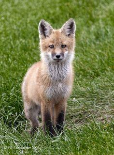 ☀Red Fox Kit