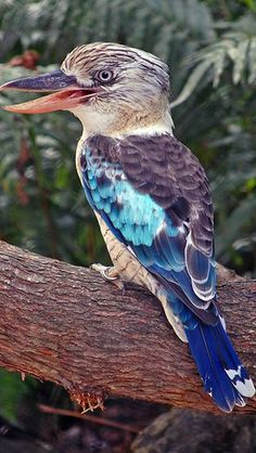 The Birds of Australia...good post! This is a Blue-winged Kookaburra.