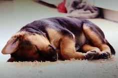 Adorable German Shepherd Puppy #germanshepherd