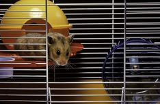 In this article, I am going to give you ideas about the best Syrian hamster cage in the market. Hamster Life, Hamster Toys, Pet Toys, Hamsters, Hamster Stuff, Syrian Hamster Cages, Hamster Bedding, Bunny Cages, Small Animal Cage