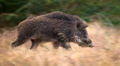Boar on Pinterest | Wild Boar, Wild Boar Hunting and Pigs