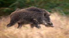 Boar on Pinterest | Wild Boar, Wild Boar Hunting and Pigs