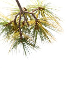 white pine (mary jo hoffman)