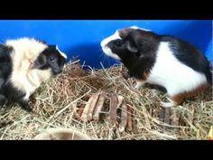 Guinea Pig Sounds & Noises Explained