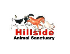 Hillside Animal Sanctuary was founded in 1995 to help and campaign for animals in need and to bring public awareness to the millions of animals suffering every day in the intensive factory farming industry. Although at Hillside we have given sanctuary to over 800 horses, ponies and donkeys, most of our residents have been rescued from the farming industry.